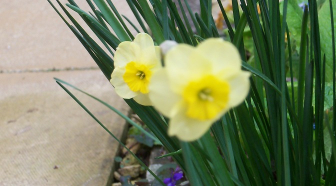 A Daffodil for a Dreary Day