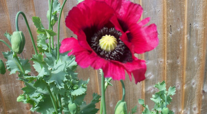 Kit's Garden: Poppies